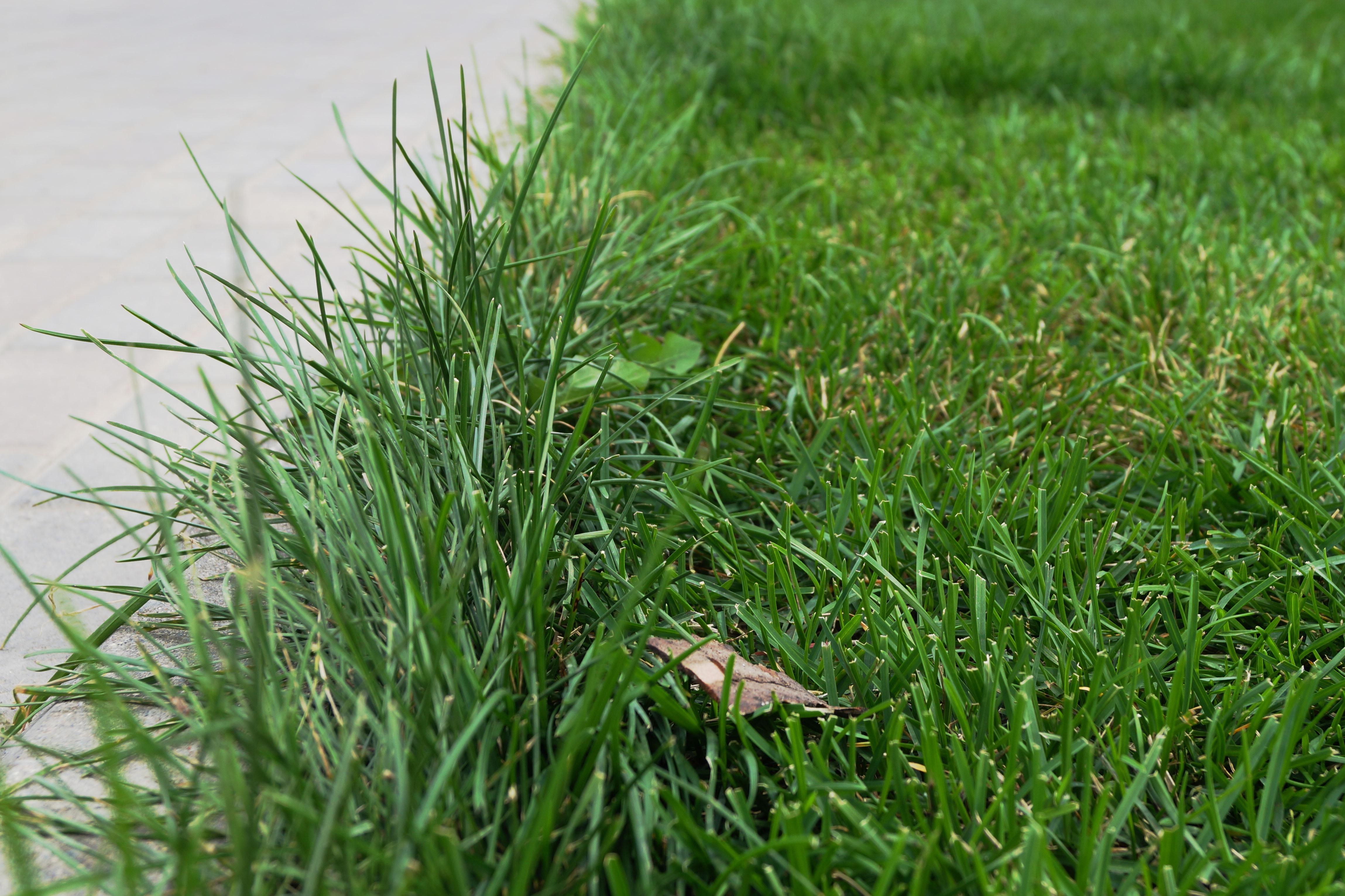 Отросшая трава виднеется только на стыках ограничительных проводов, но это обусловлено технически - провода нельзя укладывать ближе одного метра друг от друга.